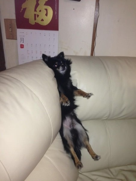 dog-stuck-couch